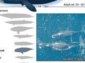 Born 1812 Bowhead Whale 200-year-old Mammal