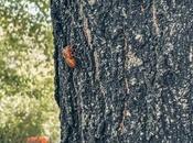 Cicadas Coming!