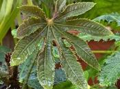 Favourite Plant Week Brassaiopsis Hispida