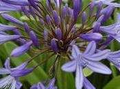 Plant Week: Agapanthus Praecox