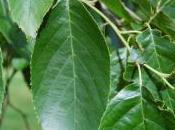 Plant Week: Alnus Spaethii
