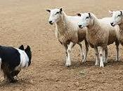 Lead Nurturing Sheep