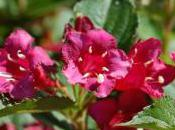 Plant Week: Weigela Florida 'Bristol Ruby'