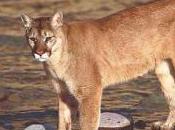 Featured Animal: Mountain Lion