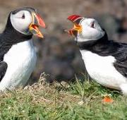 Featured Animal: Puffin