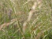 Plant Week: Nassella Tenuissima