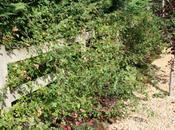 Pruning Rambling Roses