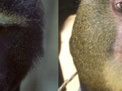 'Lesula' Identified Species Monkey