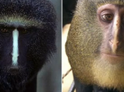 Species Monkey with Enormous Blue Bottom Discovered