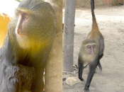 African Monkey Species Discovery