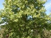 Plant Week: Liriodendron Chinense