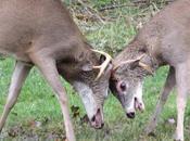 Hurricane Sandy Aftermath, Including Deer Brawl