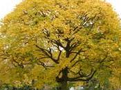 Plant Week: Acer Cappadocicum 'Aureum'