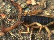 Featured Animal: Scorpion
