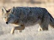 Controversial Coyote Hunting Mexico