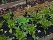 Autumn Lettuces-Part