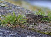 Buff Bellied Pipit