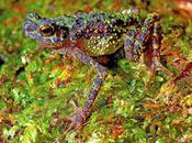 Rainbow Toad Rediscovered After Years