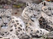 Snow Leopards Discovered Thriving Afghanistan