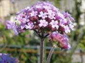 Plant Week: Verbena Bonariensis