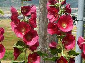 Wordless Wednesdays: High Hollyhocks
