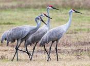 Sandhill Cranes Paynes Prairie Preserve State Park