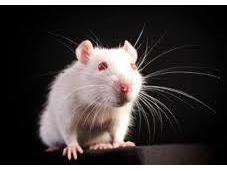 What Rodent Senses?