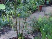 Pittosporum Illiciodes Angustifolium