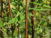 Bamboo Plants Garden