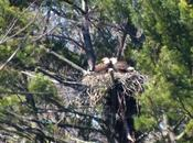 Bald Eagle with Babies Nest, Cootes Paradise, Burlington