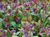 Plant Week: Pulmonaria Saccharata