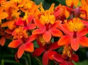 Bright Yellow, Orange Epidendrum Orchids