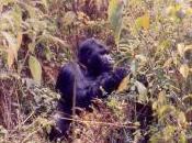 Featured Animal: Eastern Gorilla
