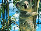 Koalas Under Threat