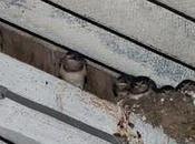 RSPB: News: Swifts