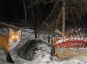 Moose Carcass Night.