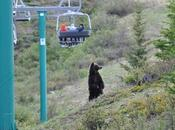 Grizzly Bear Viewing Lake Louise