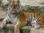 Featured Animal: Siberian Tiger