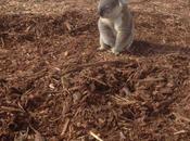 Koala Lost Home…