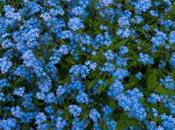 Forget-me-not, Despite Changing Outfit! Tribute International Fascination Plants (May 18th 2013)
