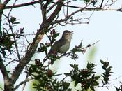 Warbling Vireo Songbird Singing Second Marsh Oshawa