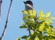 Eastern Kingbird Gives Puzzled Look Second Marsh Oshawa