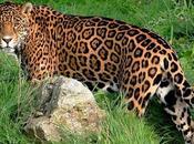 Arizona Jaguar Versus Copper Mine