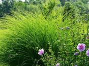 Some Ornamental Grass Reviews