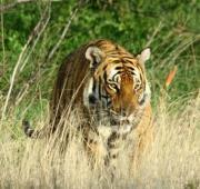 Featured Animal: South China Tiger
