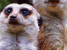 Meerkat Angel Africa