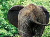 Forest Elephants Threatened Increasing Access Remote Areas