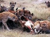 Lions Hyenas Long-Running, Pleistocene Rivalry