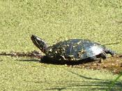 Painted Turtles Slimy Green Near Forks Credit Provincial Park