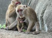 Paternity Uncertainty, Infanticide Evolution Monogamy